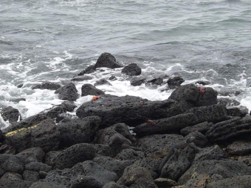 Cangrejos e iguana marina en las rocas.