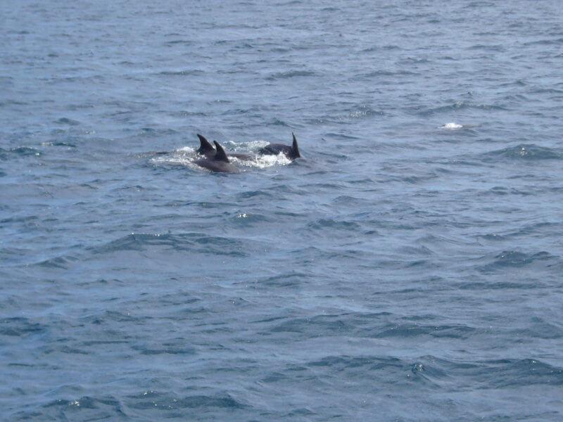 Delfines mular en Galápagos.
