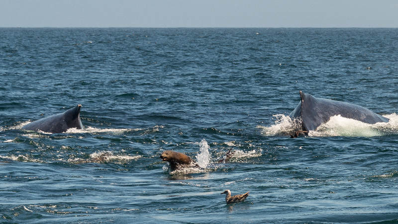Ballenas jorobadas y lobos marinos.