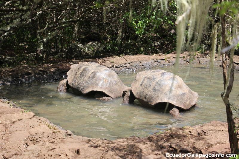 Dos tortugas gigantes en una pequeña laguna.