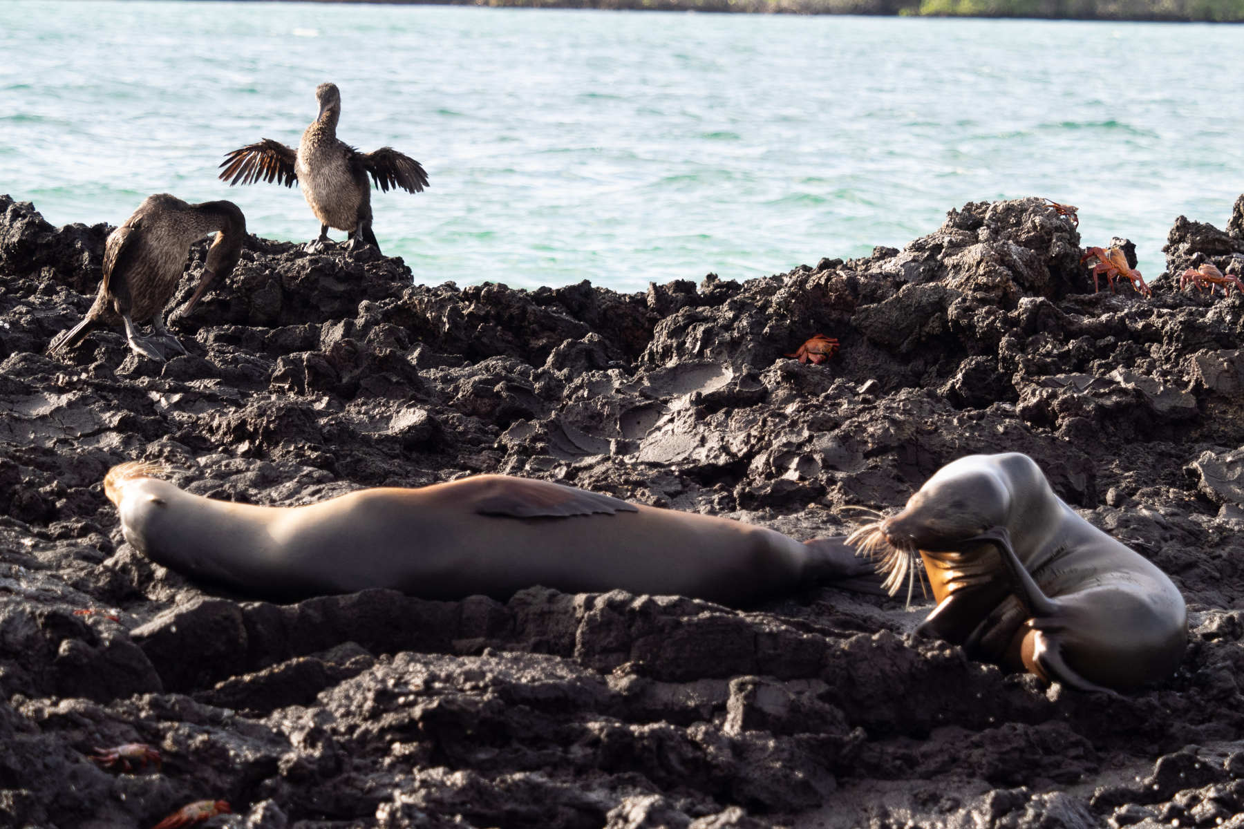 Cormorán no volador de Galápagos.