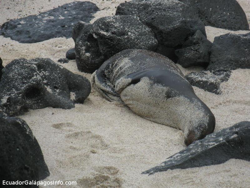 Lobo marino en la arena.