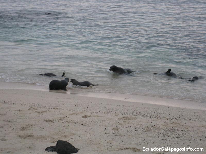 Lobos marinos en la Playa Mann.