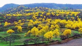 Guayacan Bloom with intensity and yellow brilliance demonstrating the magic of Mother Nature.