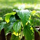 Turmeric Curcumin comes from the Curcuma Longa plant.