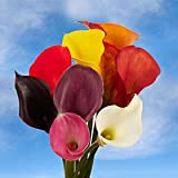 Beautiful Assorted Color Mini Calla Lilies | 60 Mini Calla Lilies Assorted Colors