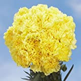 Best Yellow Carnations | 100 Yellow Carnations