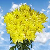 Order Yellow Chrysanthemum Cushion Flowers | 144 Pom Poms Yellow Cushion