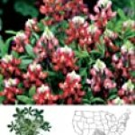 David's Non-Hybrid Texas Native Wildflower Alamo Fire/Maroon Lupinus texensis (Fabaceae) 40 Seeds per Packet