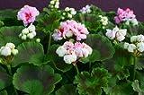 【エンゼル咲き】ゼラニウム・アップルブロッサム(ゼラニューム)3号ポット苗【花苗】