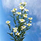 Aster White 22 Bunches Wholesale