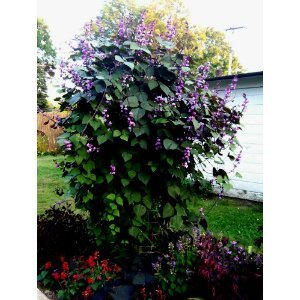 10 Purple Hyacinth Bean Seeds - Flower Vine