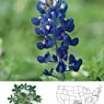 David's Non-Hybrid Texas Native Wildflower Bluebonnet (Fabaceae) 40 Seeds per Packet