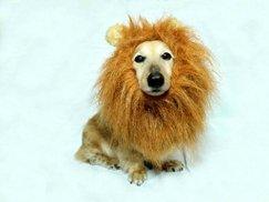GLAD TIDINGS 小型犬&猫用 ライオン 変身グッズ 変身フード 耳が付きたてがみ ウィッグ (1枚)