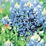 Texas Bluebonnet 35 Seeds – Lupinus – Perennial