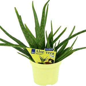 Aloe vera Sweet Aloe vera barbadensis Miller 2 Plant