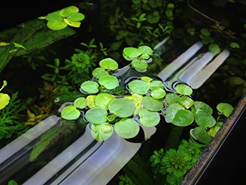 Amazon Frogbit Sale