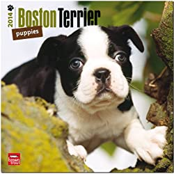 Boston Terrier Puppies 18-Month Calendar (Multilingual Edition)
