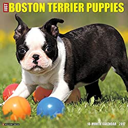 Just Boston Terrier Puppies 2017 Wall Calendar (Dog Breed Calendars)