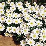 Anemone blanda White Splendour - 10 flower bulbs