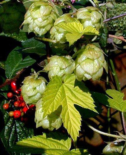 beer hops plants