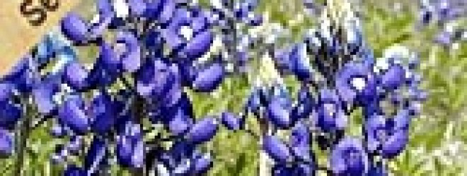 350 Seeds, Texas Bluebonnet (Lupinus texenis) Seeds By Seed Needs