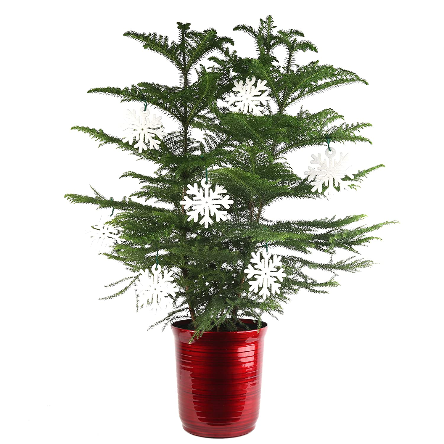 Tabletop Christmas Trees Advice On Selecting From Available Types And Varieties In Home Grown At Farmers Market Online