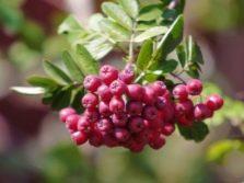 Посадка рябины осенью когда и как посадить