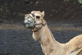 Camels in Timanfaya