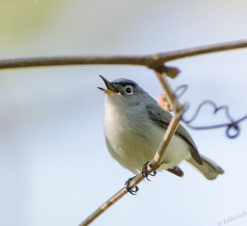 Blue-Gray Gnatcatcher shot at Allerton Park, Monticello IL