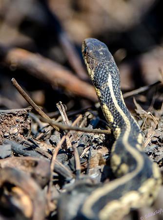 Garter Snake at Chain O' Lakes State Park