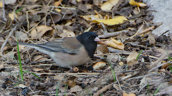 Oregon Junco - Nevada