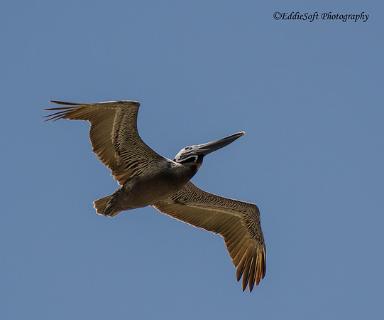 Brown Pelican shot in Fort Myers, Florida