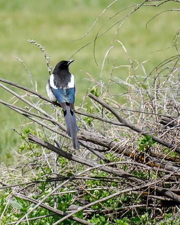 Black-Billed Magpies of South Dakota