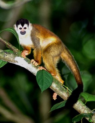 squirrel-monkey-web