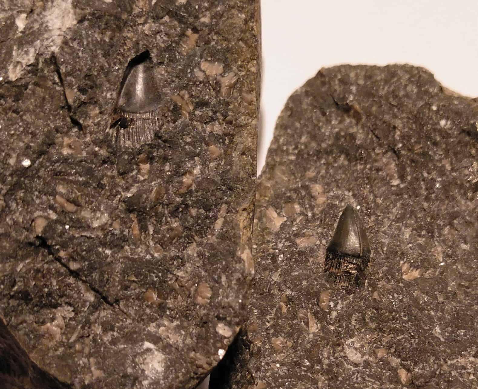Saurichthys tooth