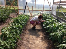 Addie checking the green peppers.