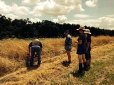 Allen demonstrating harvesting rye.