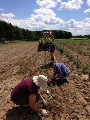 Planting squash for the fall CSA