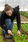 Steph harvests arugula greens from solar high tunnel.