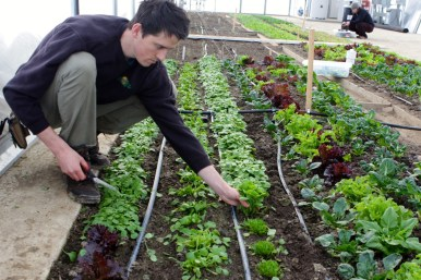Matt about to harvest claytonia.