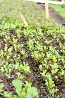 Salad mix coming up in solar high tunnel.