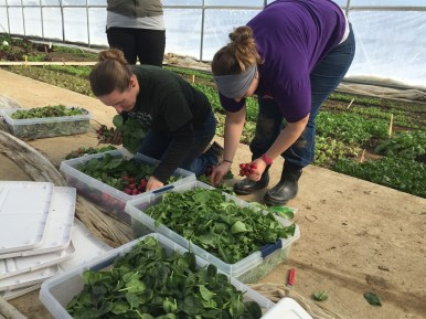 Melissa Nobbe and Steph Box pack up the greens to take to the kitchen