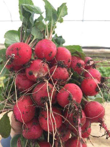 Freshly harvested beautiful pink radishes!