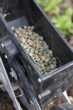 snow peas in seeder