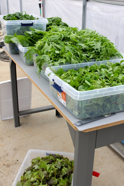 A huge haul of greens from the solar high tunnel.