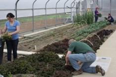 Gianna and Allen harvest red sails lettuce.
