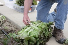 Allen cuts a head of red sails lettuce.