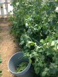 picking sugar snap peas in the solar high tunnel