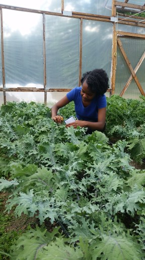 Gina checking out the purple kale in the movable high-tunnel